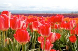 Tulip Festival - Woodburn, Oregon. Taylor Smith